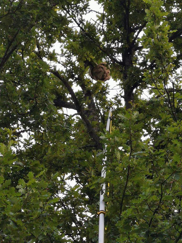 Nid de frelons asiatiques à 16 mètres de haut